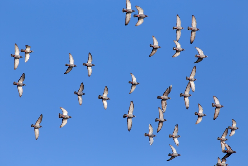 Pigeons flying in clear blue sky